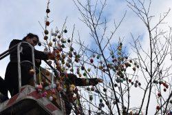 Hranické náměstí opět zdobí kraslicovník / fotogalerie / Pracovnice MKZ Hranice nazdobují kraslicovník, foto: Radka Kunovská