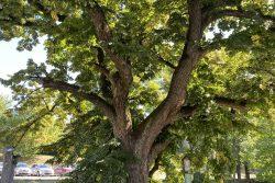 Vydejte se po stopách Josefa H. A. Gallaše / fotogalerie / Památný strom Gallašova lípa byl zřejmě vysazen při některém z gallašovských výročí, její věk se odhaduje na 180 let. Zdroj: Foto Kateřina Valentová